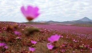 flores-desierto-atacama-id