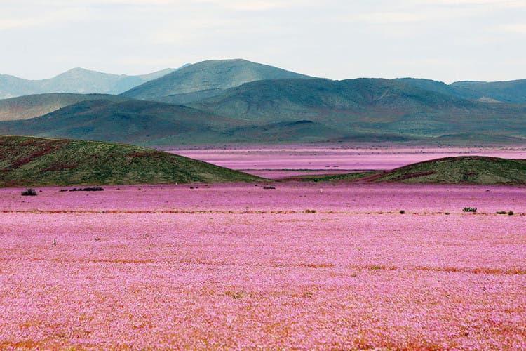 flores-en-desierto-mas-arido-del-mundo-1
