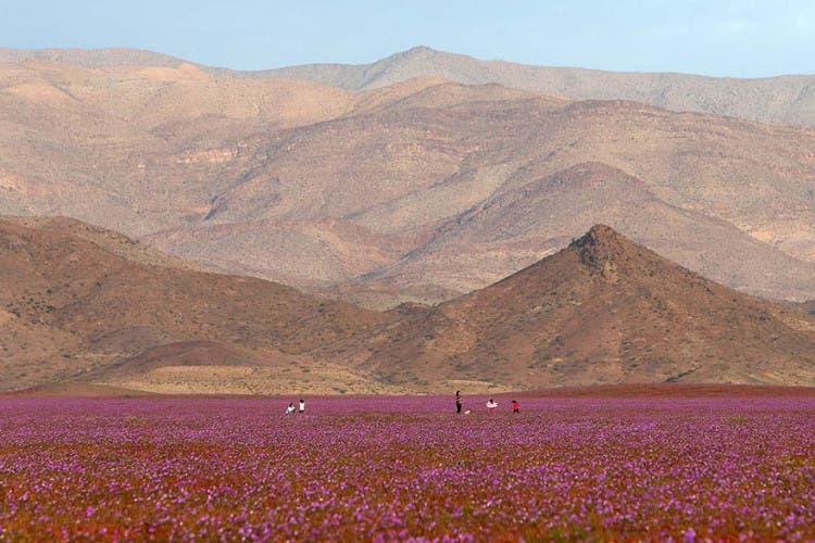 flores-en-desierto-mas-arido-del-mundo-3