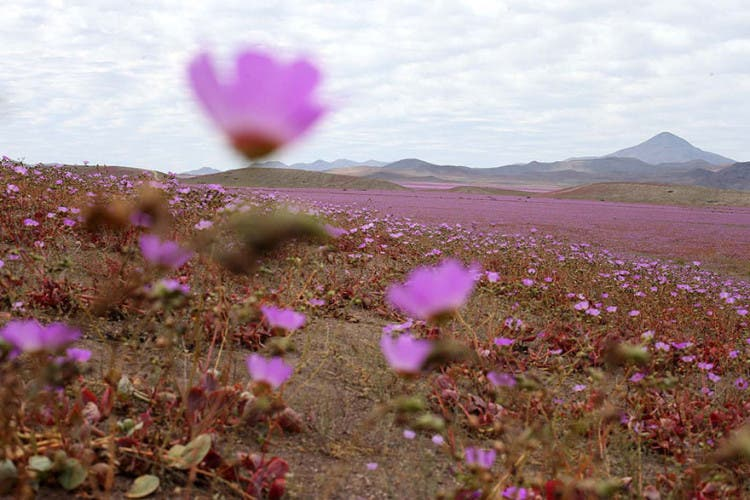 flores-en-desierto-mas-arido-del-mundo-5