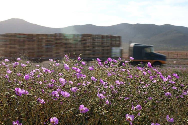 flores-en-desierto-mas-arido-del-mundo-7