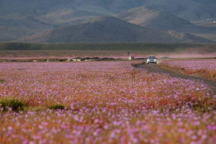 flores-en-desierto-mas-arido-del-mundo-8