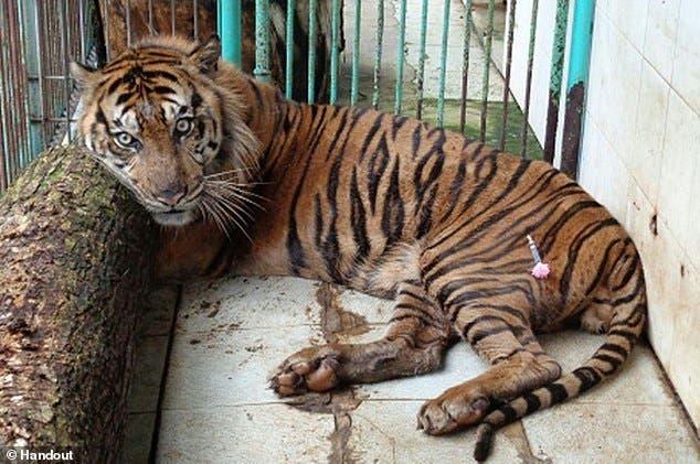 muere-tige-sumatra-en-zoologico1