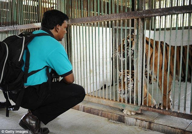 muere-tige-sumatra-en-zoologico2