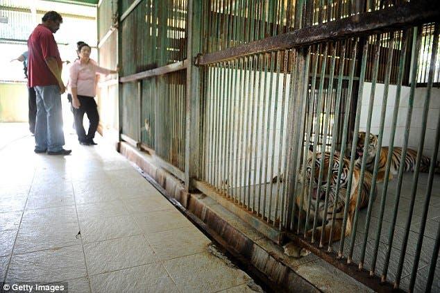 muere-tige-sumatra-en-zoologico3