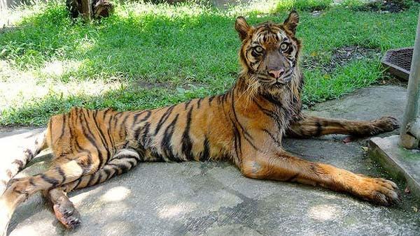 muere-tige-sumatra-en-zoologico4