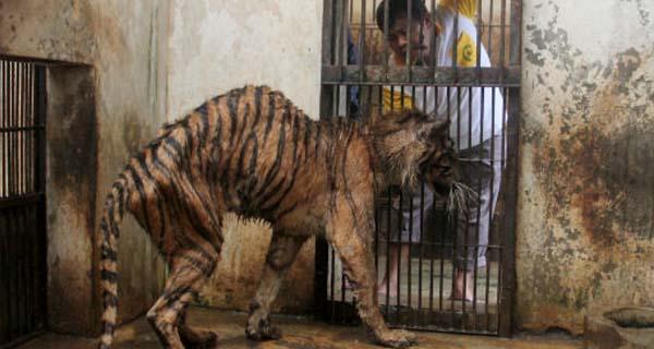 muere-tige-sumatra-en-zoologico5
