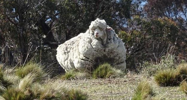 oveja-perdida-encontrada-cinco-anos-despues1