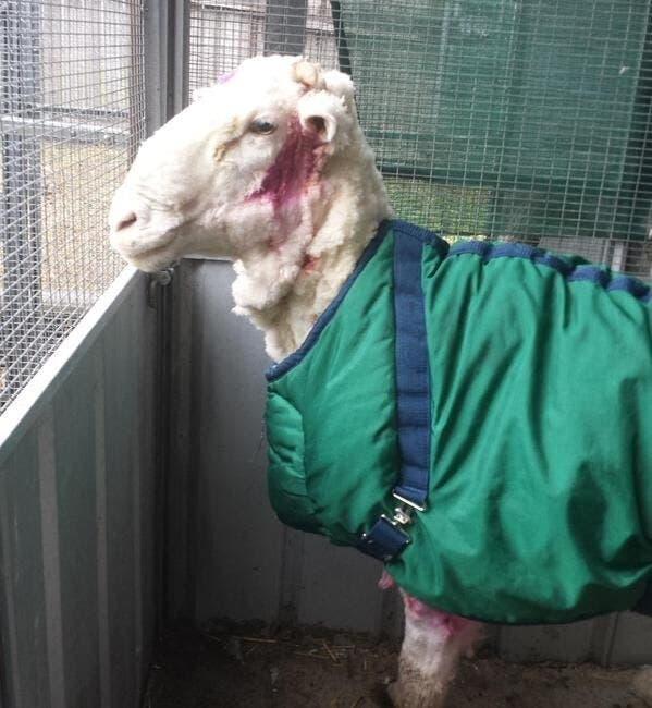 oveja-perdida-encontrada-cinco-anos-despues10