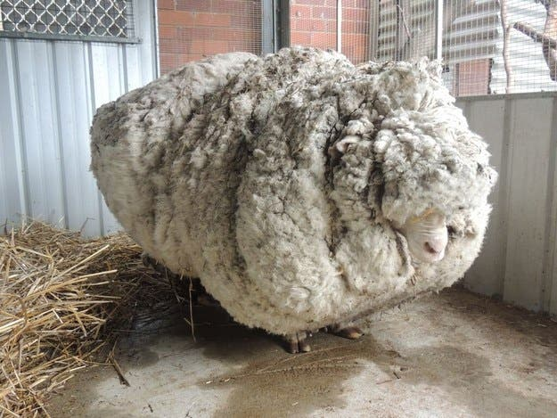 oveja-perdida-encontrada-cinco-anos-despues4