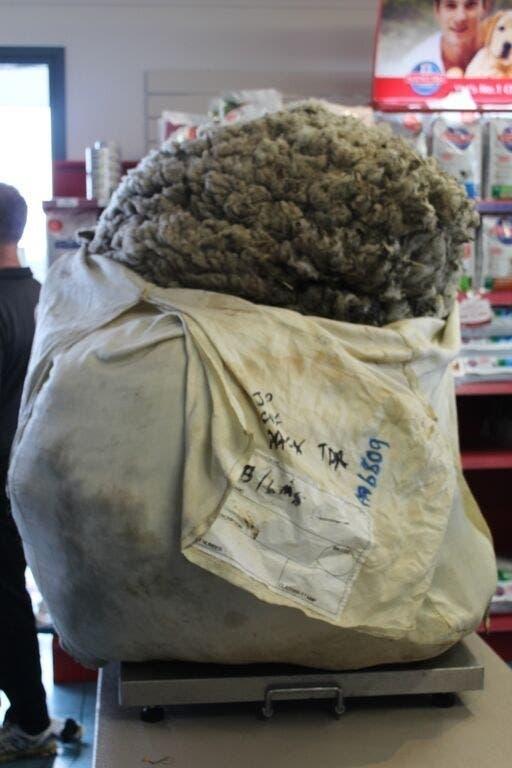 oveja-perdida-encontrada-cinco-anos-despues9