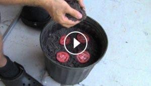sembrar-tomates-super-facil-rapido-increible