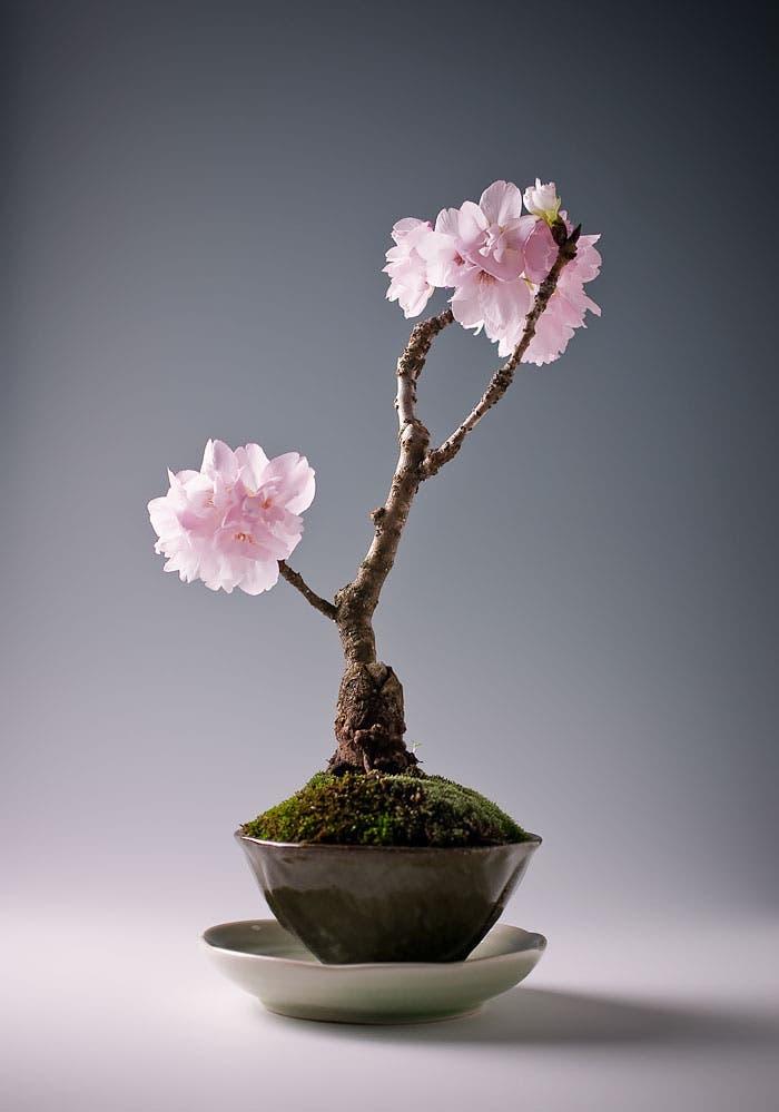 diferentes-unicos-bonsais-arte-japones-cultivar-arboles-miniatura-14