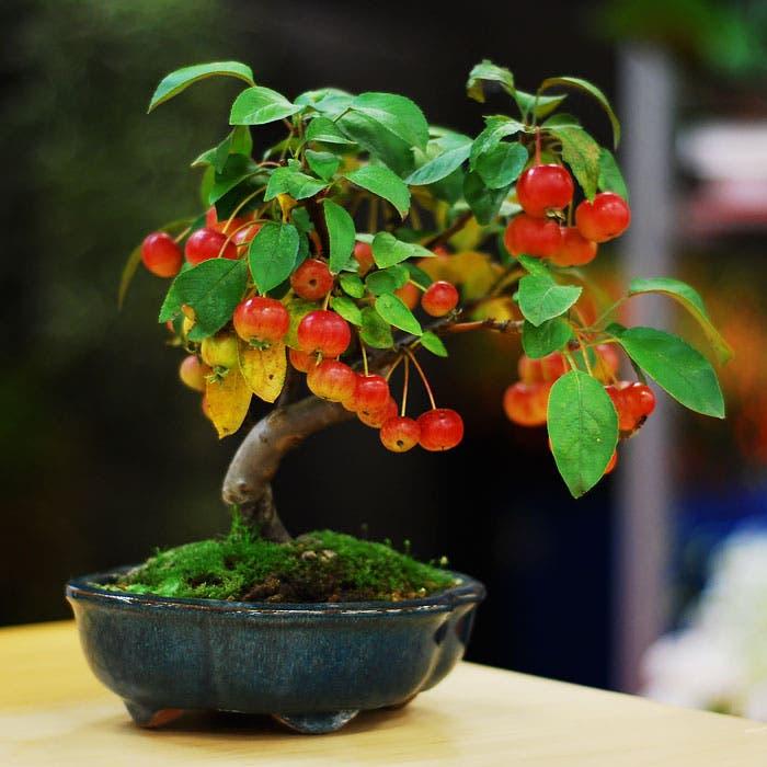 diferentes-unicos-bonsais-arte-japones-cultivar-arboles-miniatura-15
