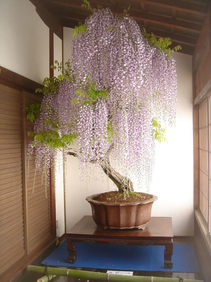 diferentes-unicos-bonsais-arte-japones-cultivar-arboles-miniatura-3