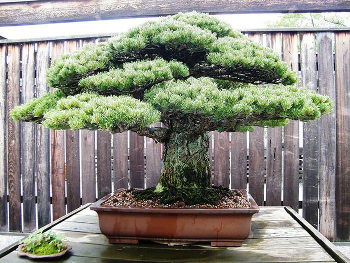 diferentes-unicos-bonsais-arte-japones-cultivar-arboles-miniatura-4