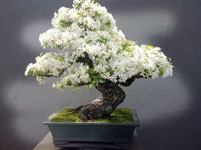 diferentes-unicos-bonsais-arte-japones-cultivar-arboles-miniatura-5