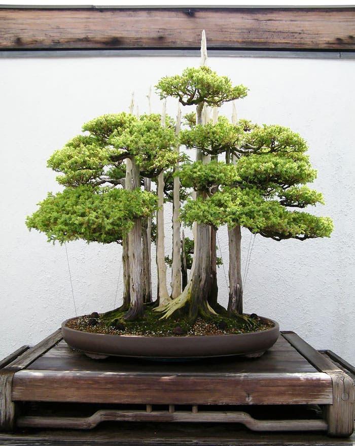 diferentes-unicos-bonsais-arte-japones-cultivar-arboles-miniatura-6