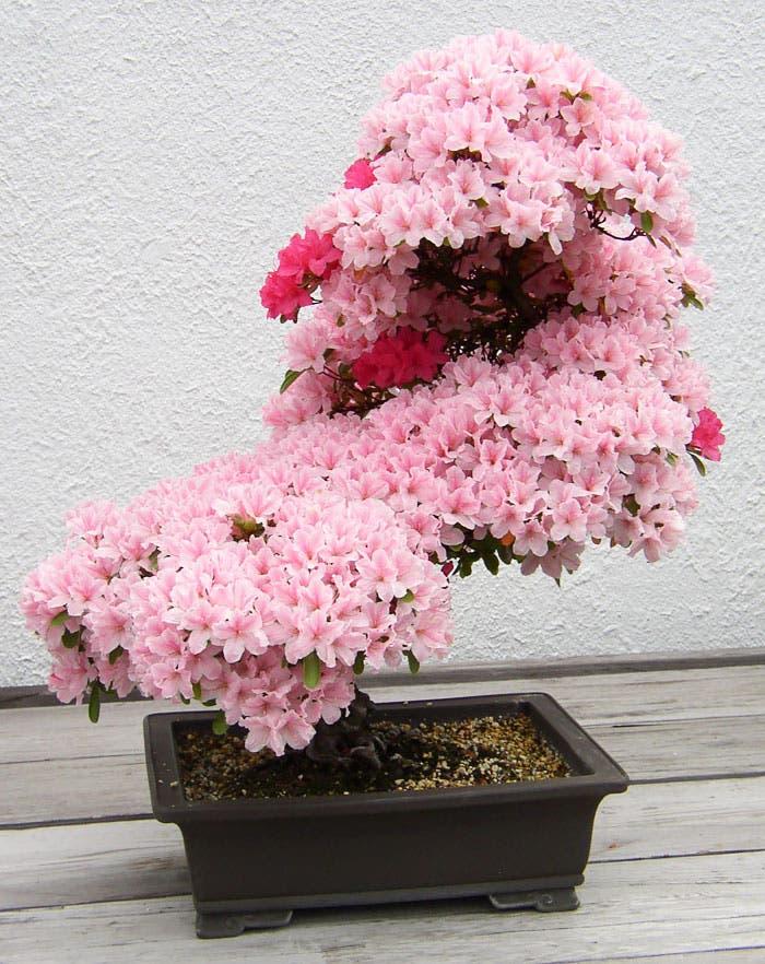 diferentes-unicos-bonsais-arte-japones-cultivar-arboles-miniatura-7