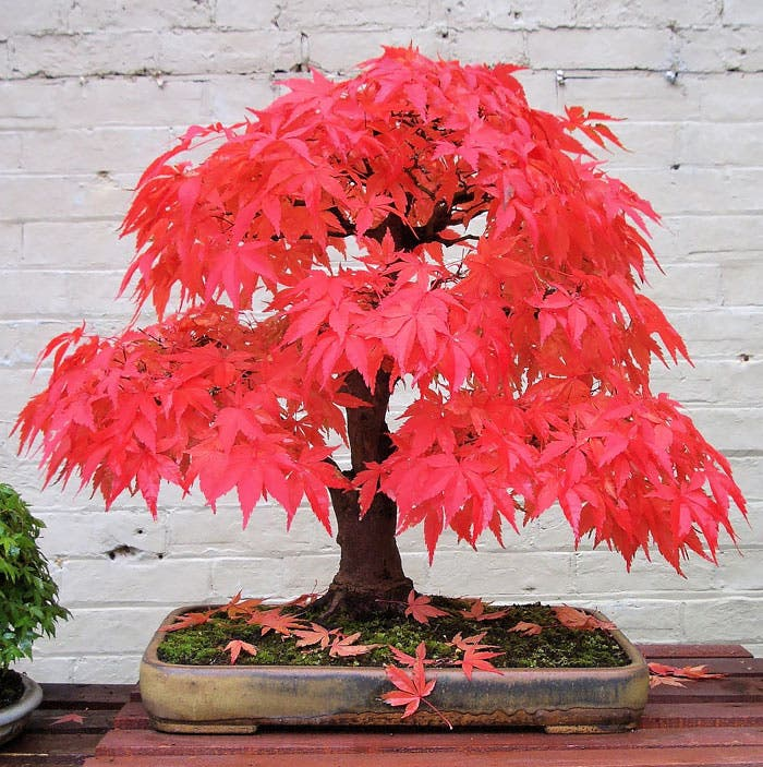diferentes-unicos-bonsais-arte-japones-cultivar-arboles-miniatura-8