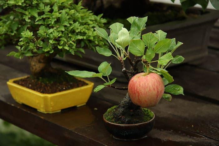 diferentes-unicos-bonsais-arte-japones-cultivar-arboles-miniatura-9