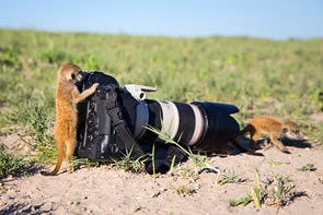 Baby meerkats playing with my camera!