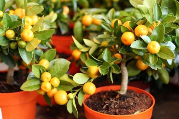 arboles-frutales-en-macetas1