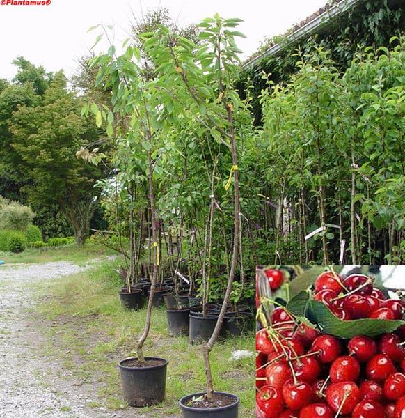 arboles-frutales-en-macetas10