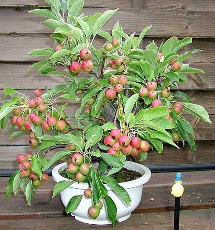 arboles-frutales-en-macetas12