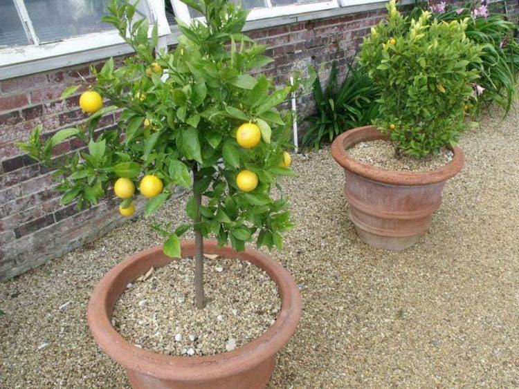 arboles-frutales-en-macetas2