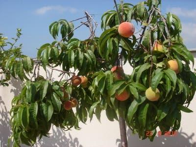 arboles-frutales-en-macetas3