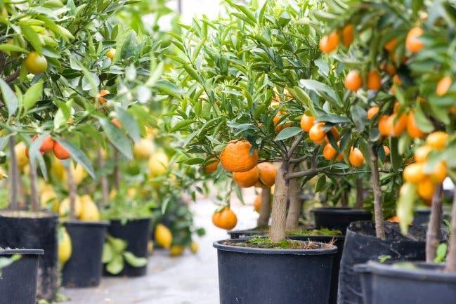arboles-frutales-en-macetas6