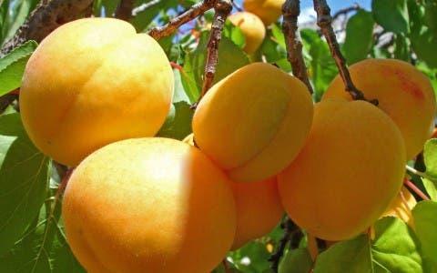 arboles-frutales-en-macetas8