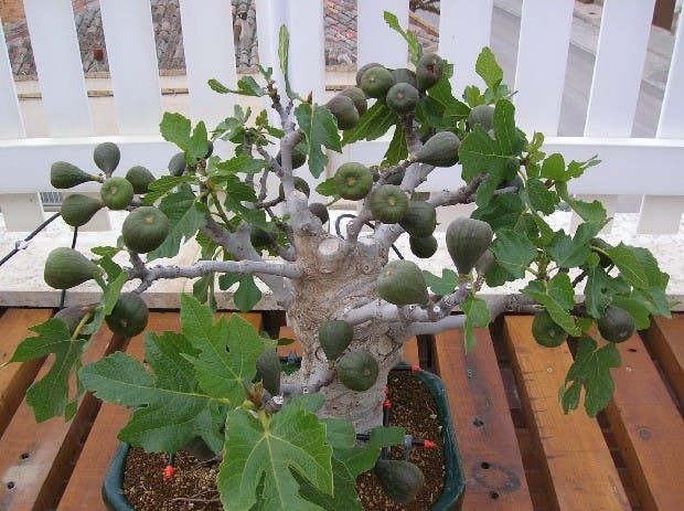 arboles-frutales-en-macetas9