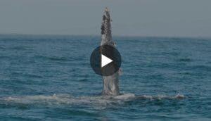 ballena-rescatada-muestra-agradecimiento