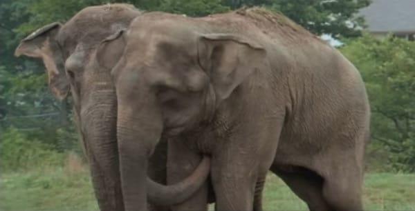 elefanta-aislada-cautiverio-cadenas-1