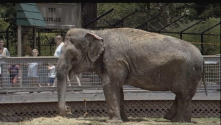 elefanta-aislada-cautiverio-cadenas-2