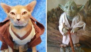 gato-rescatado-parecido-al-maestro-yoda