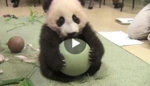 hermoso-panda-bebe-juega-pelota