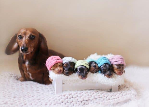 perro-mama-salchicha-6-cachorritos-4