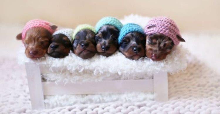 perro-mama-salchicha-6-cachorritos-5
