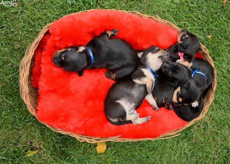 perro-mama-salchicha-6-cachorritos-7