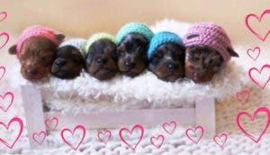 sesion-de-fotos-perritos-recien-nacidos