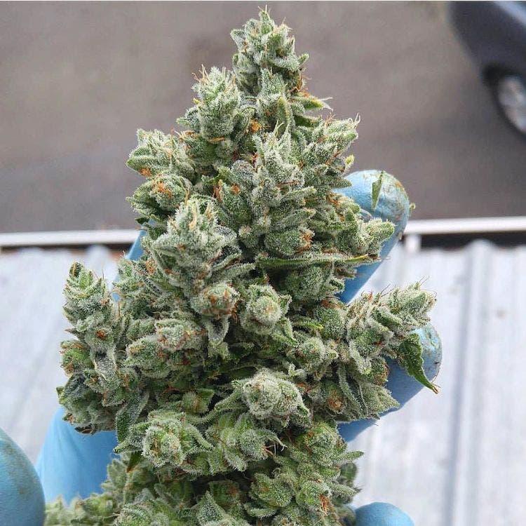 marihuana-estudios-medicinal-4