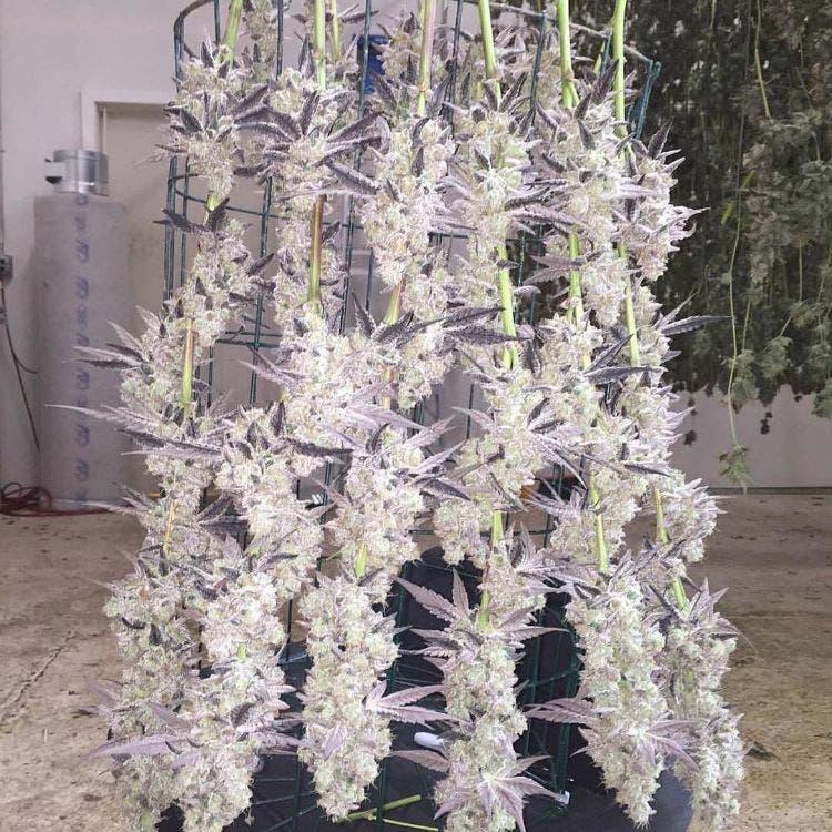 marihuana-estudios-medicinal-6