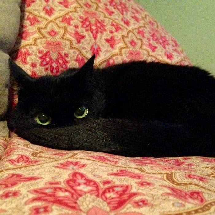 gato-chimuelo-1