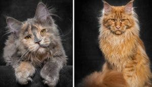 gatos-majestuosos-fotos
