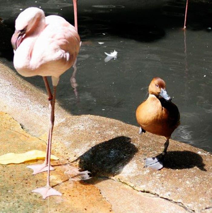 patos-flamencos-3