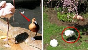 patos-flamingos-id