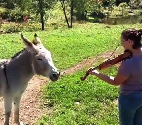 burro-canta-violin